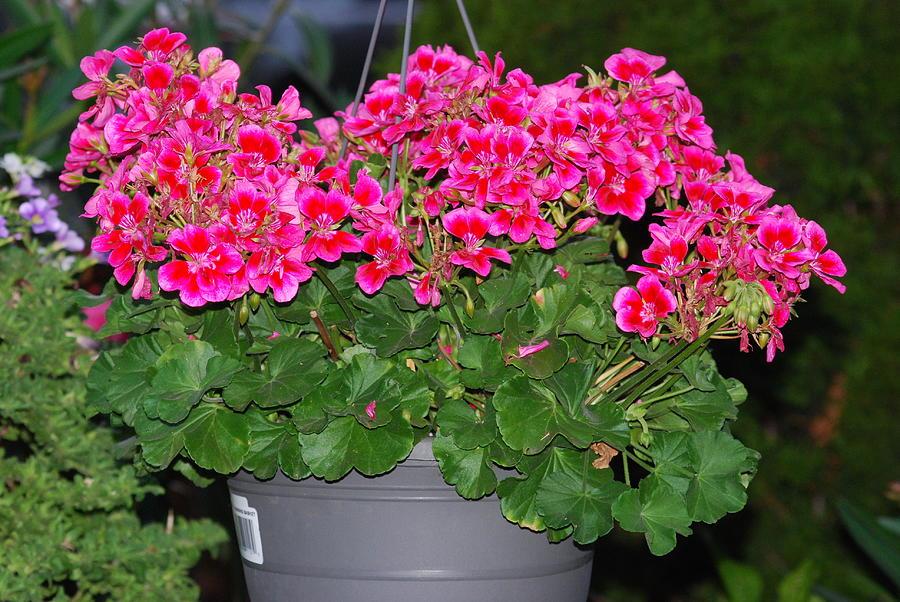 Pink Geraniums Photograph