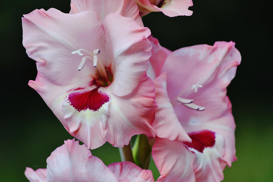 Pink Gladiolus Flowers Close Up In Green Background Photograph
