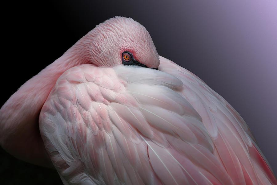 Studio Dalio - Pink Lesser Flamingo Resting Art Print