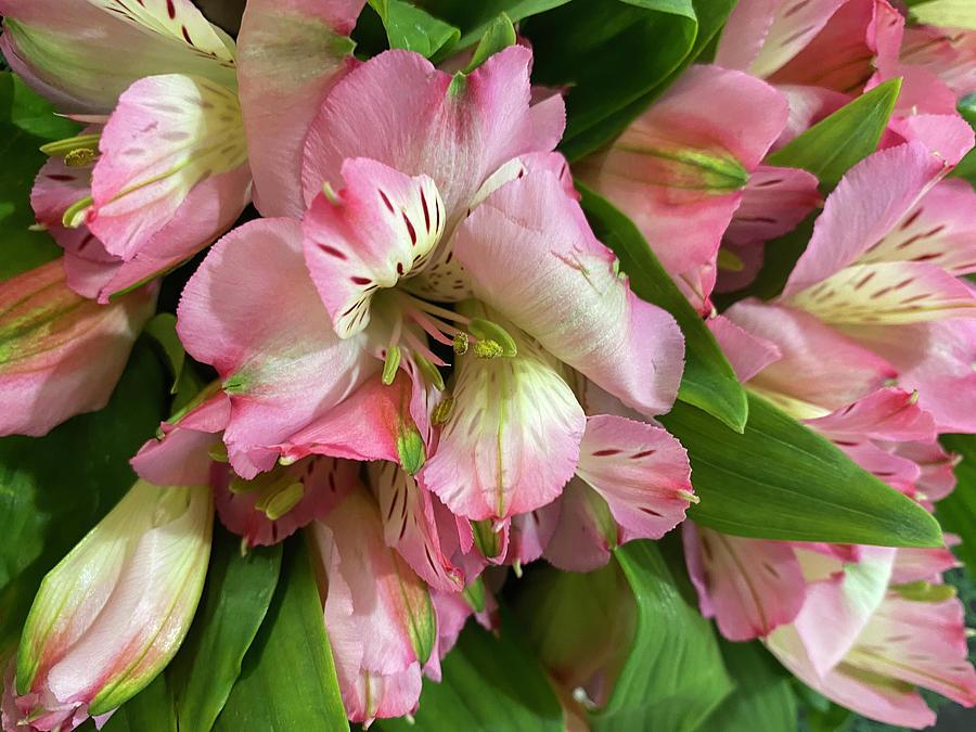 Pink Lilies Photograph by Karen Zuk Rosenblatt