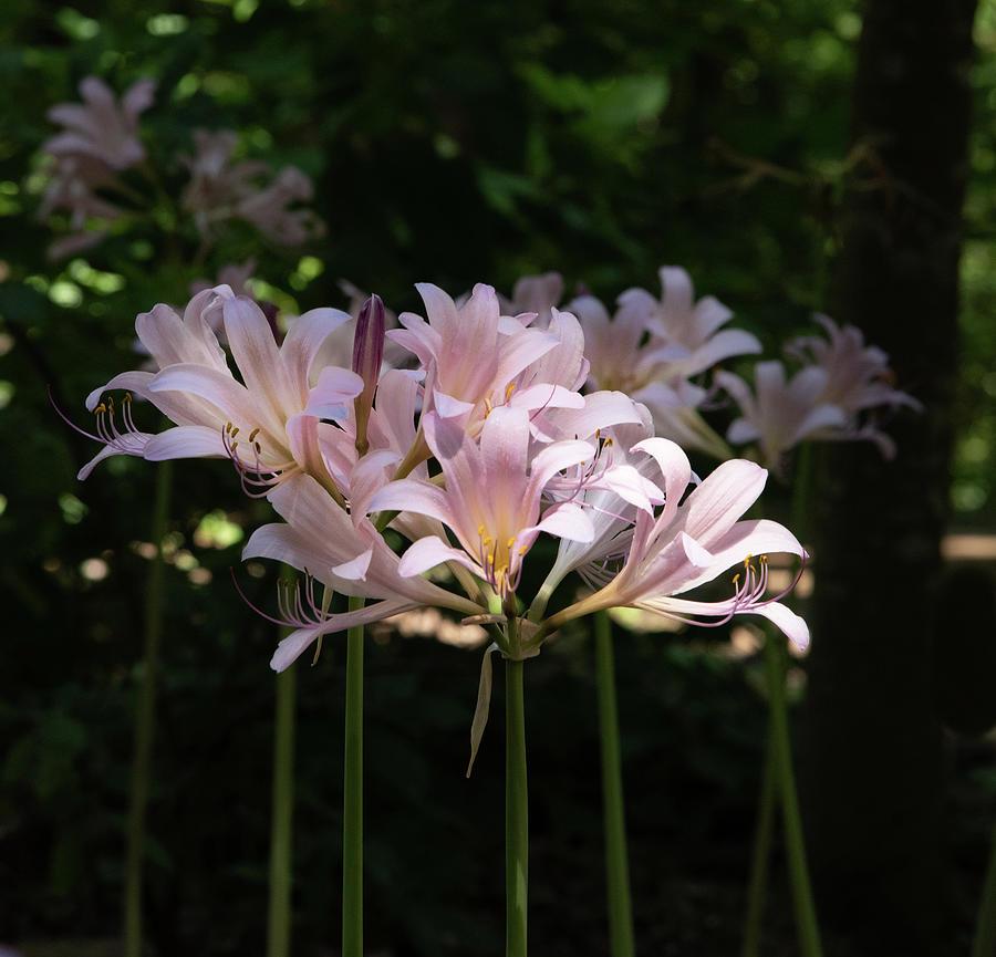 Arkansas Photograph - Pink Lilies by Lea Rhea Photography