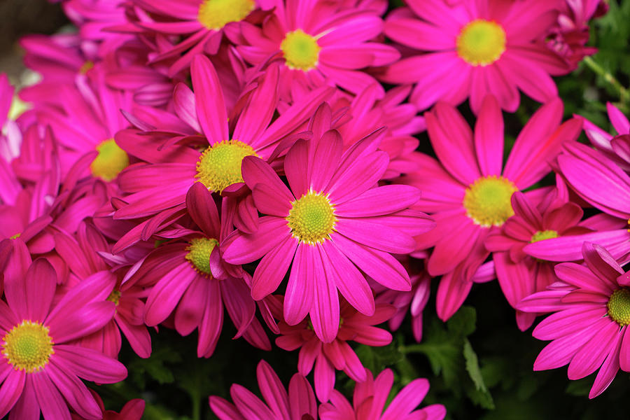 Bloom Photograph - Pink Painted Daisies In March by Jeff Severson