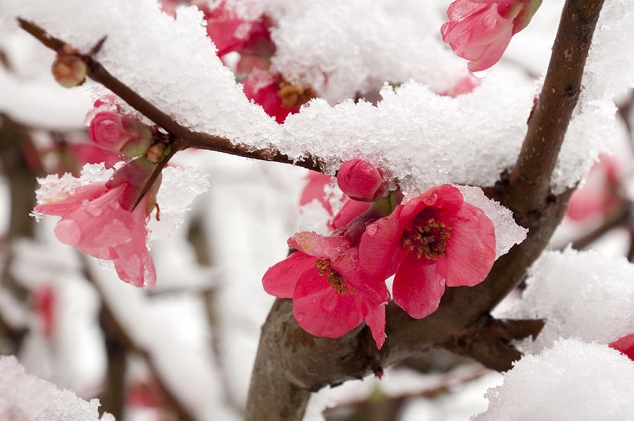 Pink peach blossom dusted with snow Photograph by Orestegaspari