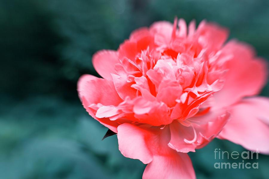 Pink Peony Flowers Photograph