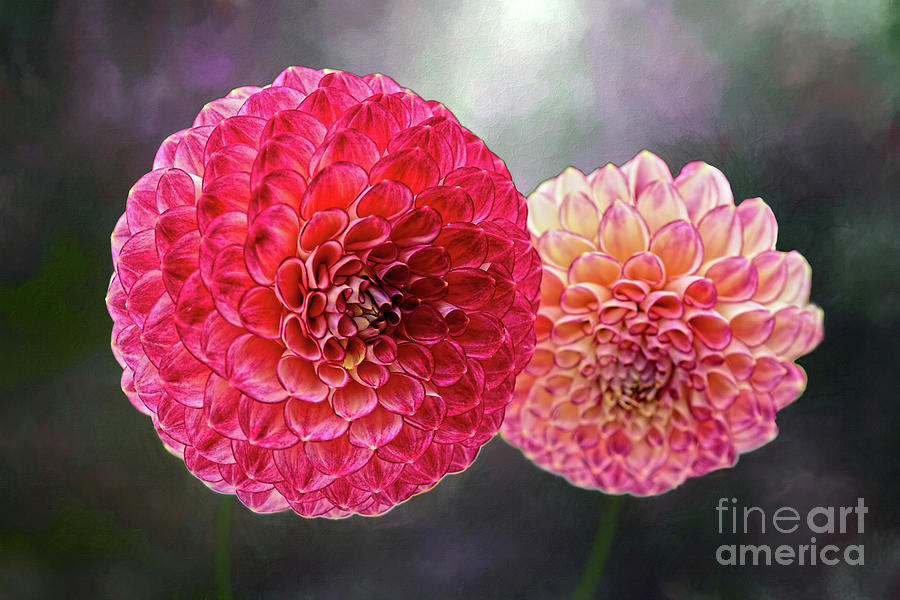 Pink Pom Pon Dahlias By Kaye Menner Photograph