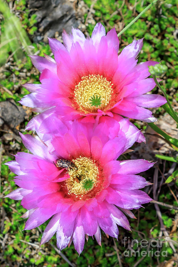 Pink Prickly Pear Cactus Blossoms Photograph