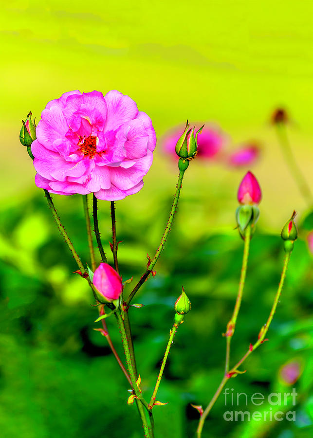 Rosoideae Photograph - Pink Rose And Buds by Frances  AnnHattier