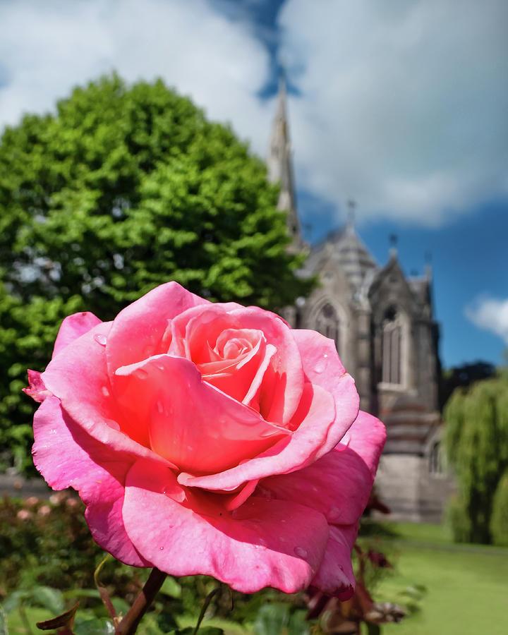 Maynooth University Photograph - Pink Rose at Maynooth University - Ireland by Barry O Carroll