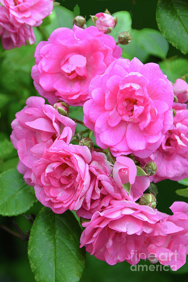 Pink Rose Blossom Cluster Photograph