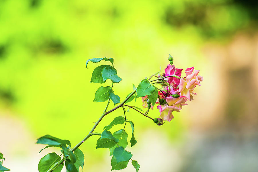 Pink Rose Flowers With Green And Yellow Background Blur Photograph