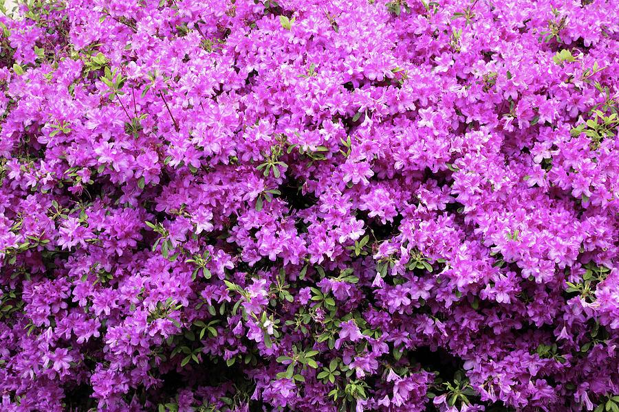 Pink Spring Photograph