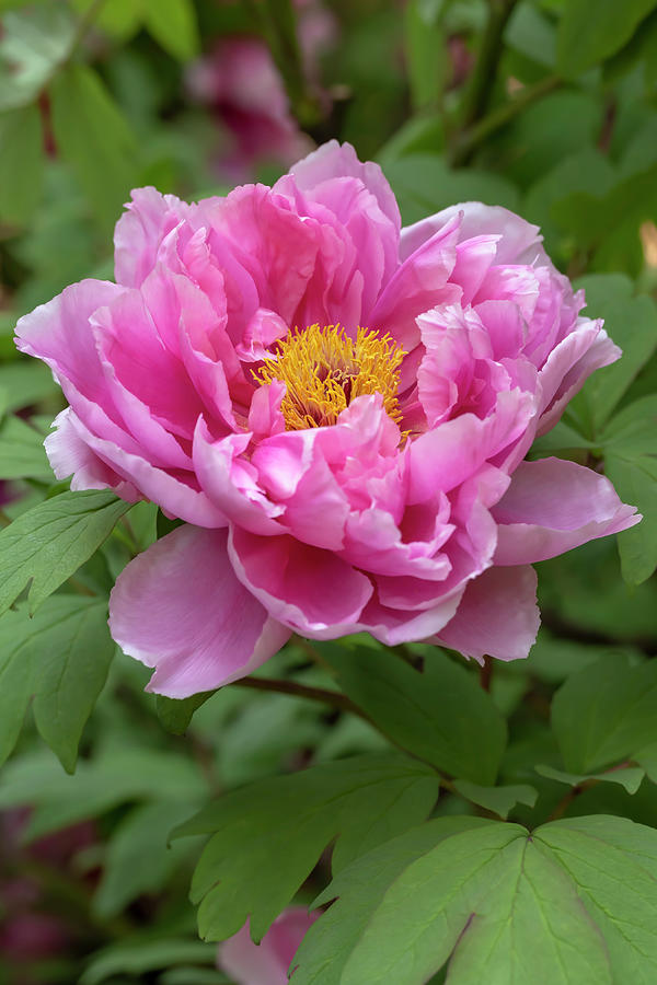 Pink Tree Peony by Dawn Cavalieri