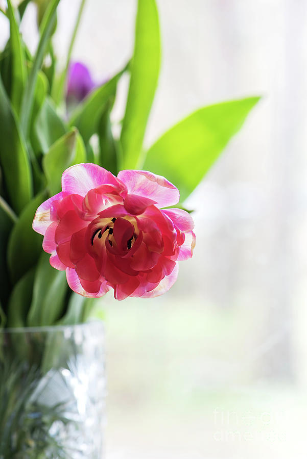 Pink Tulip In A Vase, Window On The Background Photograph