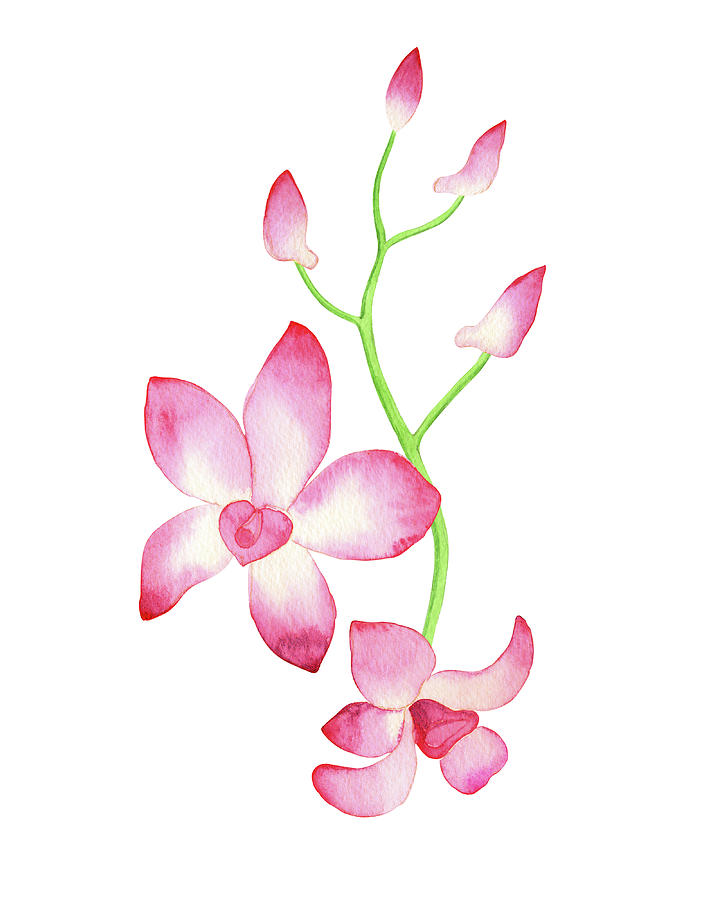 Pink Watercolor Orchid Flower With Stem And Buds Painting