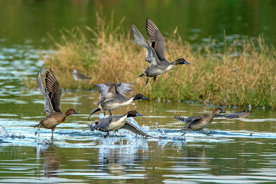 Pintail Ducks 4318-110619 by Tam Ryan