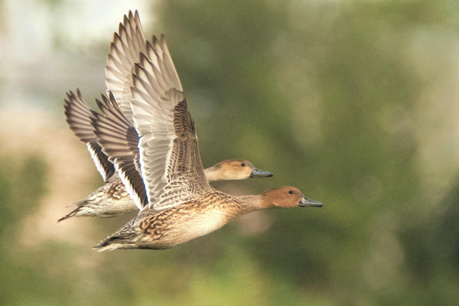 Pintail Ducks 4329-110619 by Tam Ryan