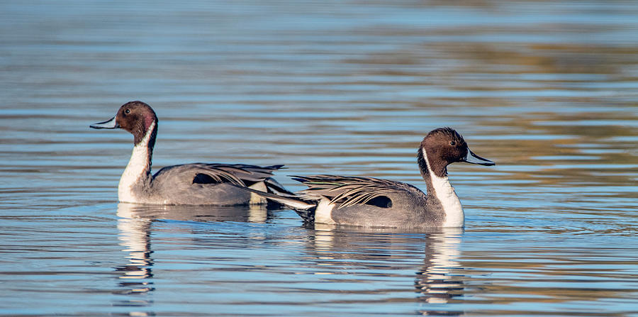 Pintail Ducks 5048-011820-2 by Tam Ryan