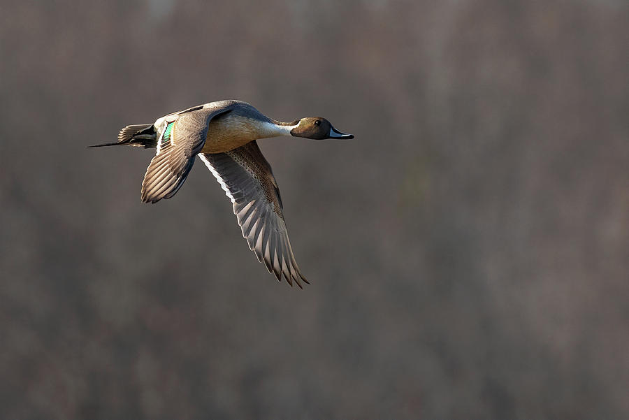 Pintail Point by Art Cole