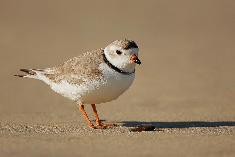 Piping Plover On Beach Photograph