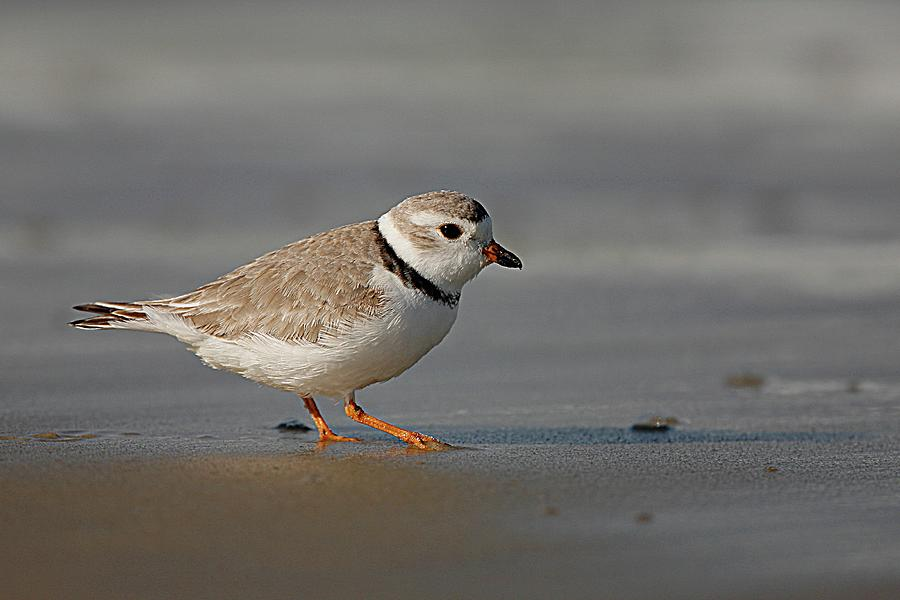 Piping Plover Walking On Beach Photograph