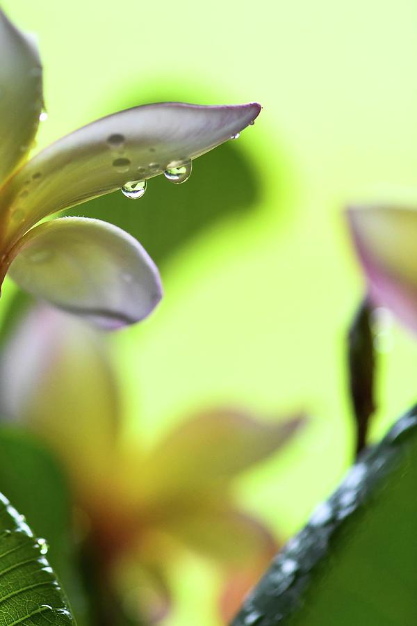 Plumeria Water Drops Photograph