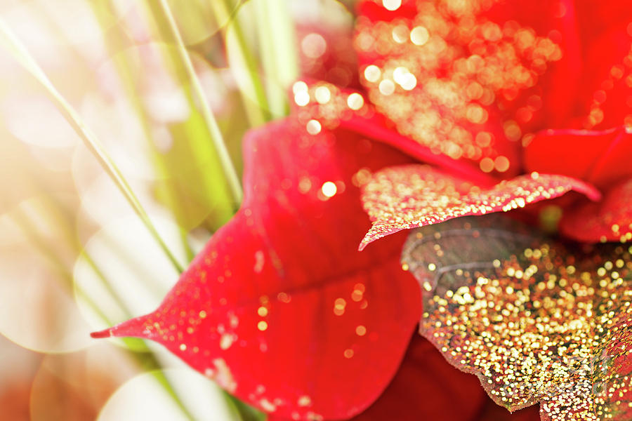 Poinsettia leaf with golden glitter in Christmas holidays by Gregory DUBUS