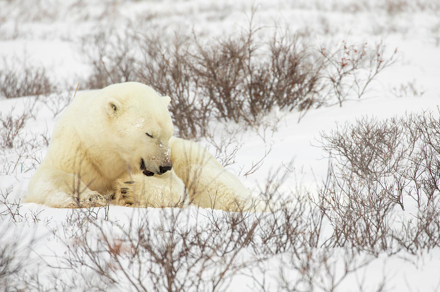 Polar bear grooming in snow by Karen Foley