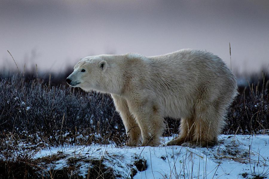 Polar Bear in Evening Light by Mark Hunter