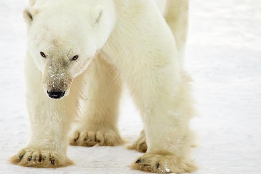 Polar bear portrait by Karen Foley