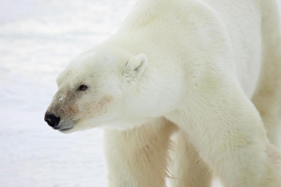 Polar bear profile by Karen Foley
