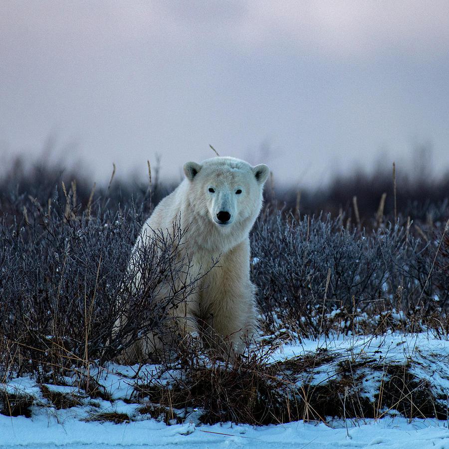 Polar Bear Sitting in the Evening Light by Mark Hunter