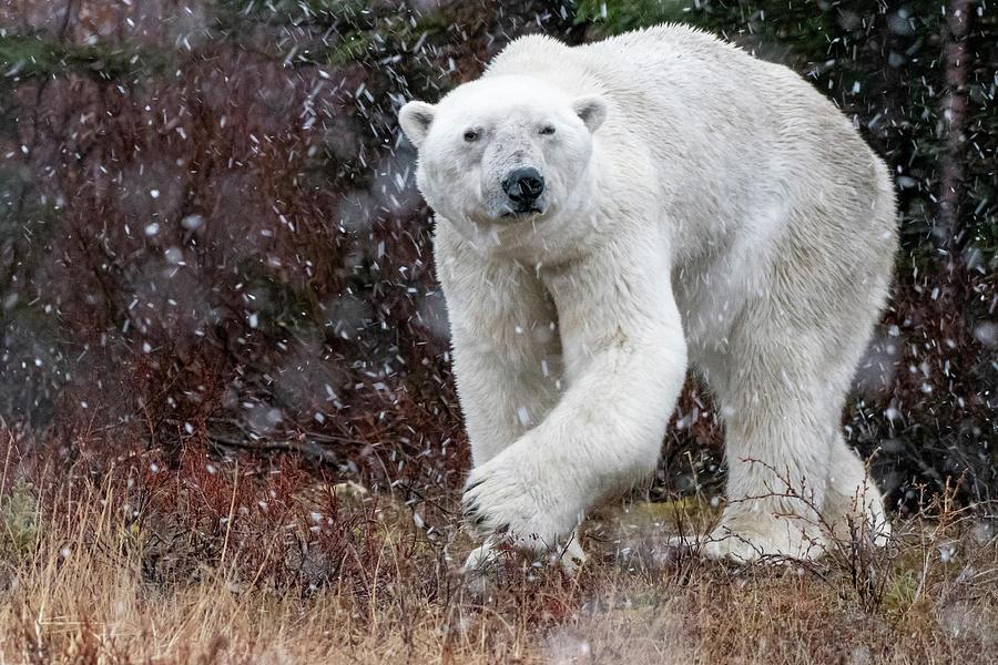 Polar bear turning by Mark Hunter