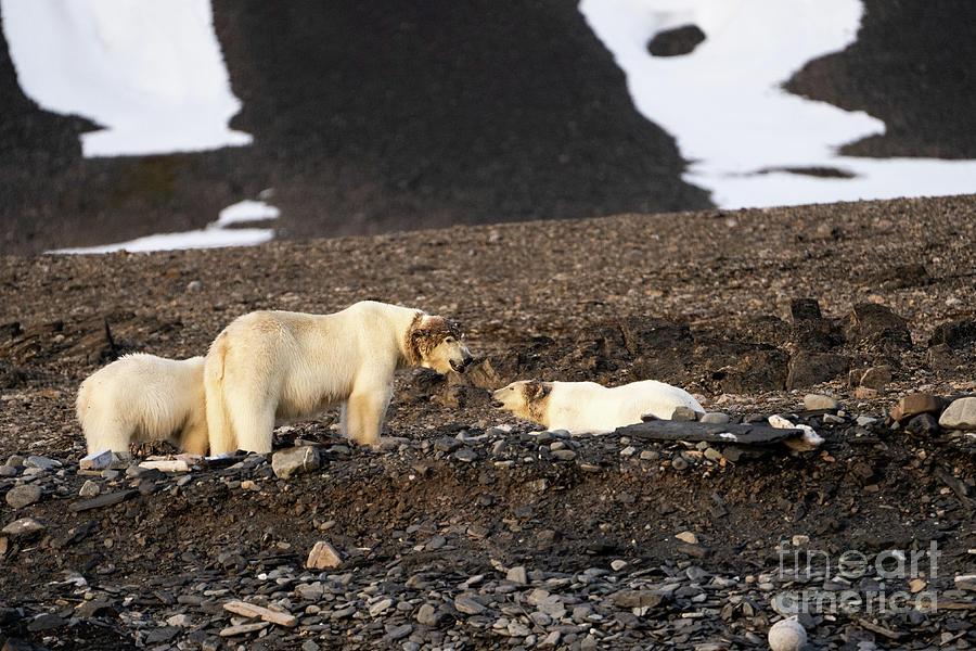 Polar Bear Photograph - polar bear Ursus maritimus k3 by Eyal Bartov