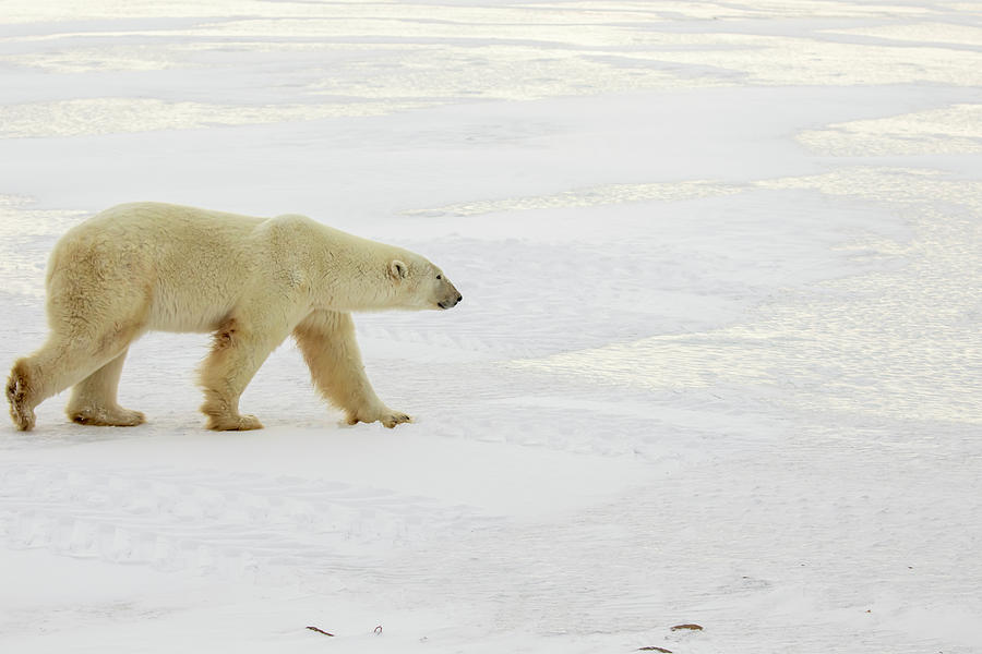 Polar bear walking across ice  by Karen Foley