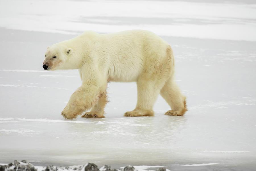 Polar bear walking on ice by Karen Foley