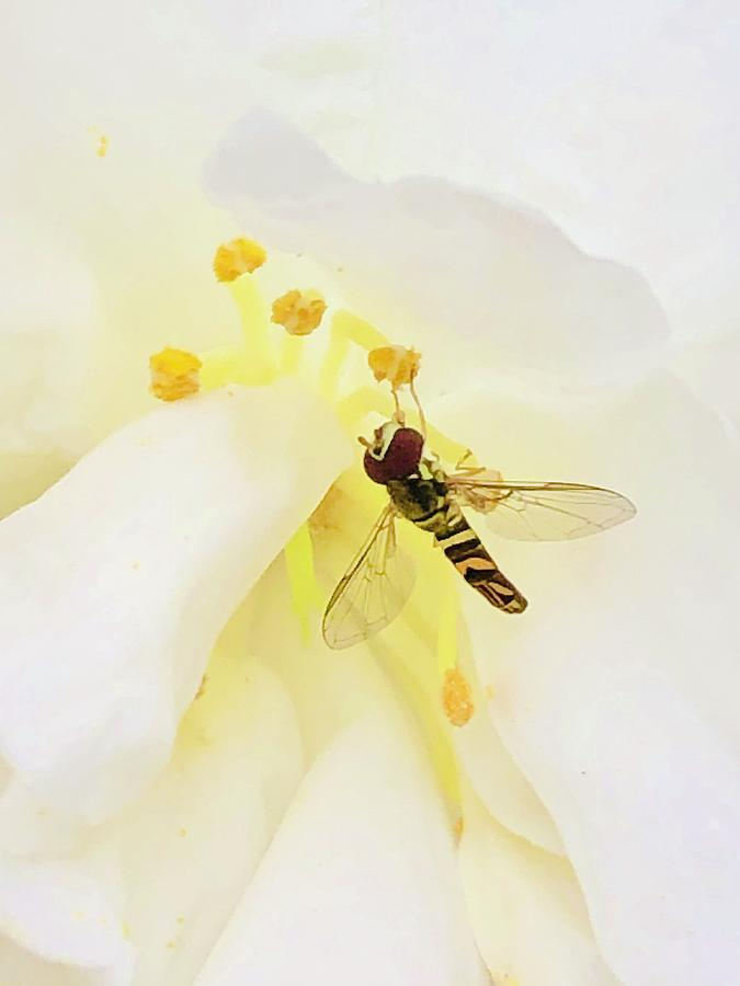 Bee Photograph - Pollen Popping  by Michael Stothard