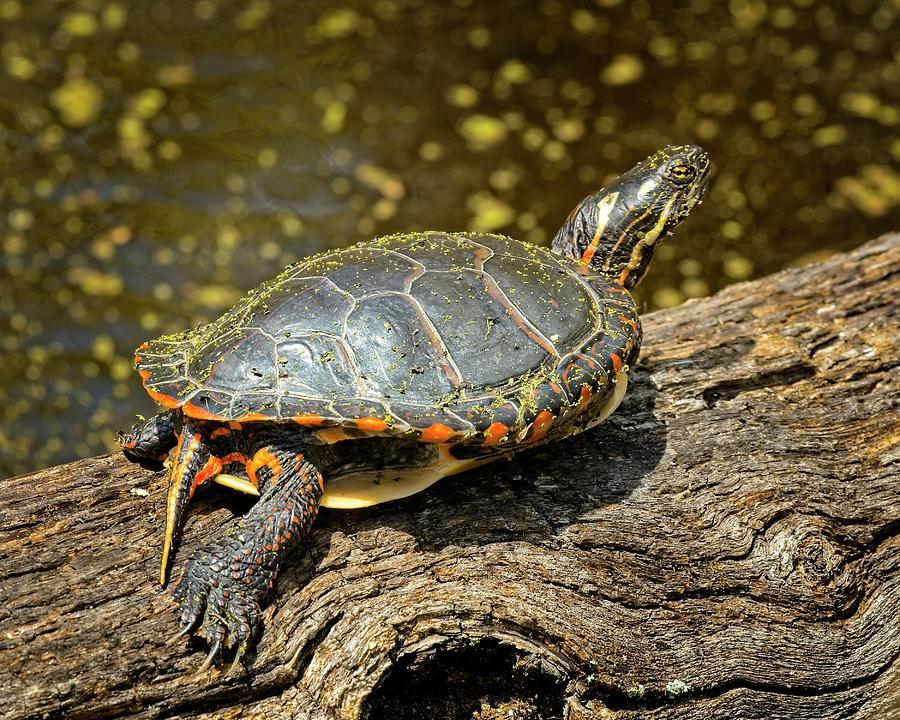 Turtle Photograph - Pond Turtle by John Bates
