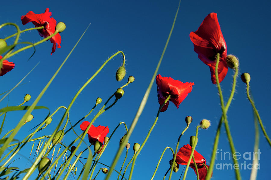 Poppy Photograph - Poppies And Blue by Vicente Sargues