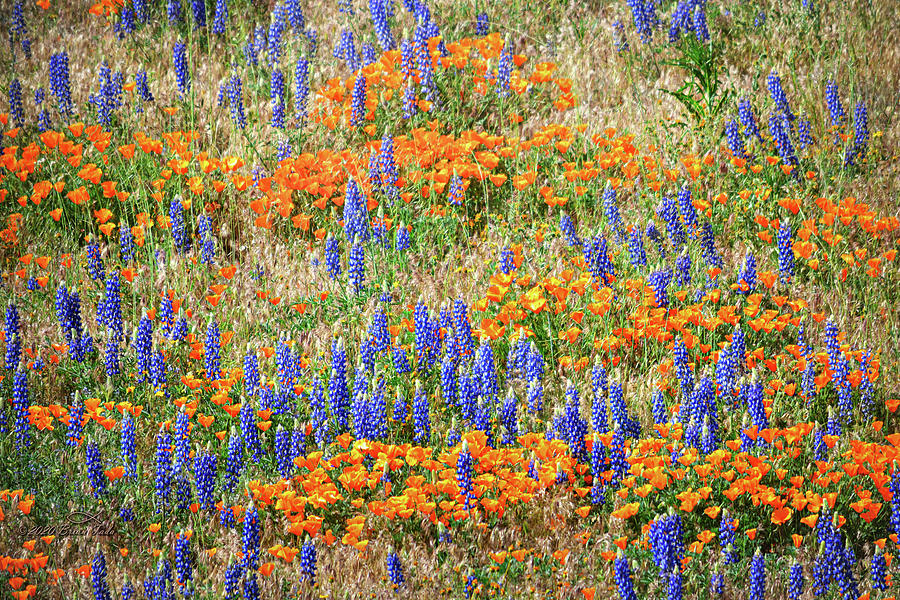 Poppies And Lupines At Gorman, California Photograph