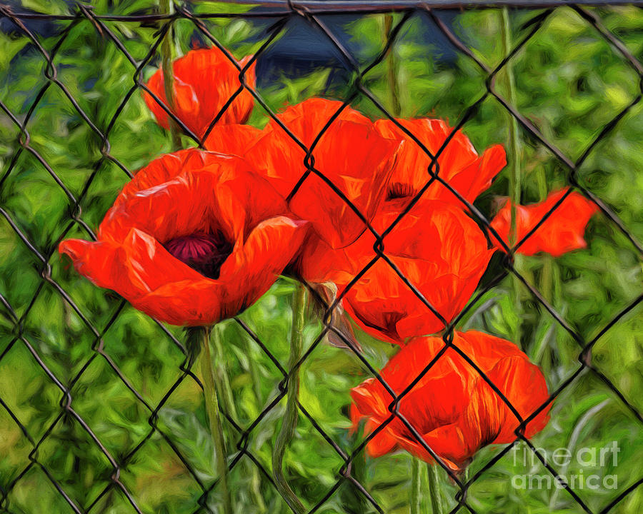 Poppies Behind A Fence Photograph