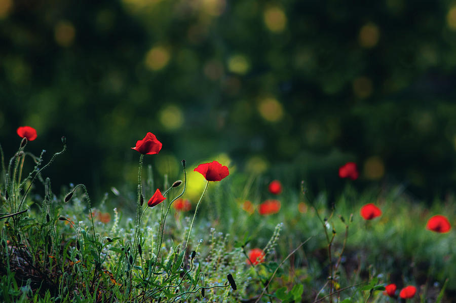 Background Photograph - Poppies On Green by Vicente Sargues