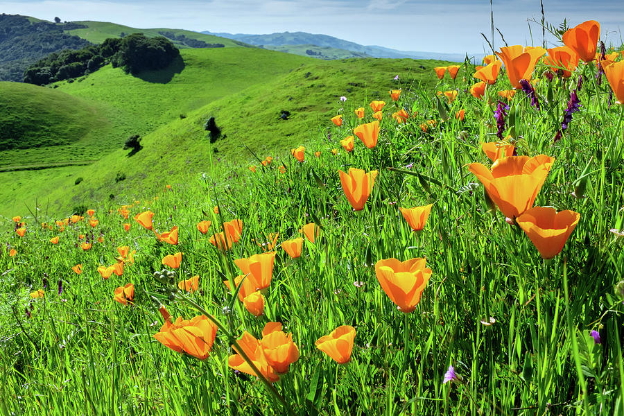 Poppies View, Garin Regional Park, Hayward California 3 Photograph