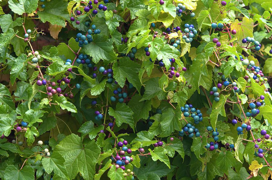 Porcelain Berries 2 by Jenny Rainbow