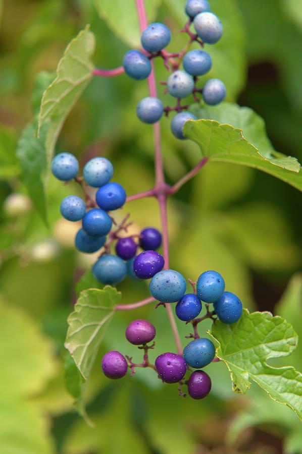 Porcelain Berries by Jenny Rainbow