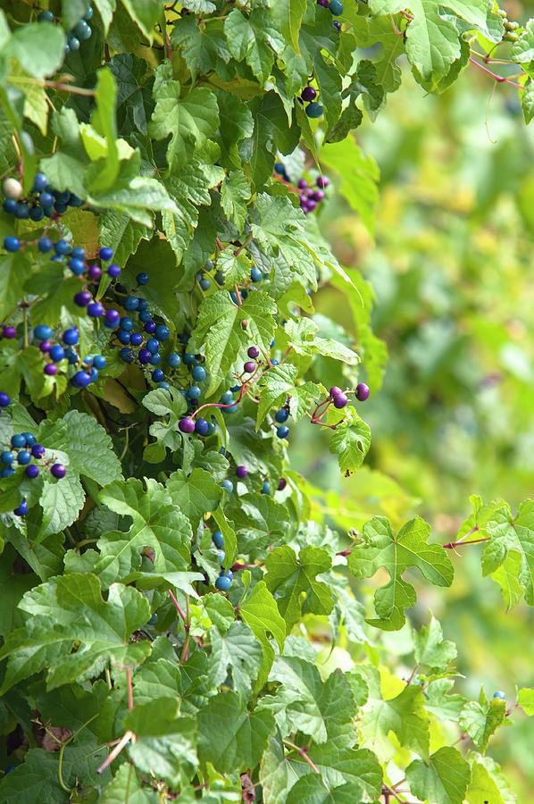 Porcelain Berries Vines 1 by Jenny Rainbow