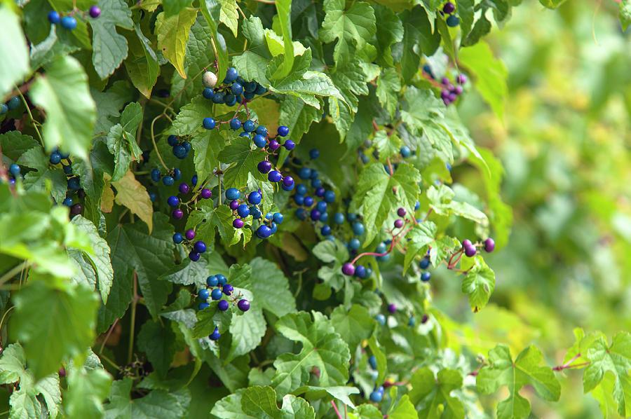 Porcelain Berries Vines by Jenny Rainbow