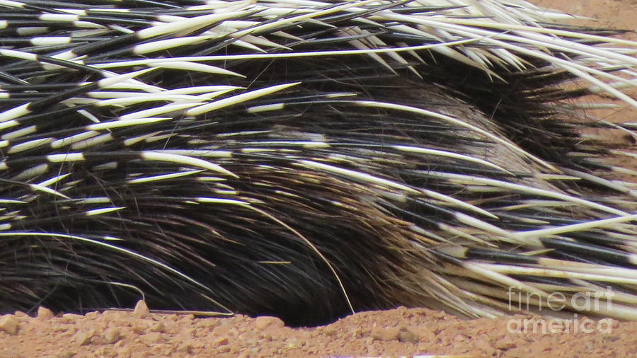 Porcupine Photograph - Porcupine Quills by Mary Mikawoz