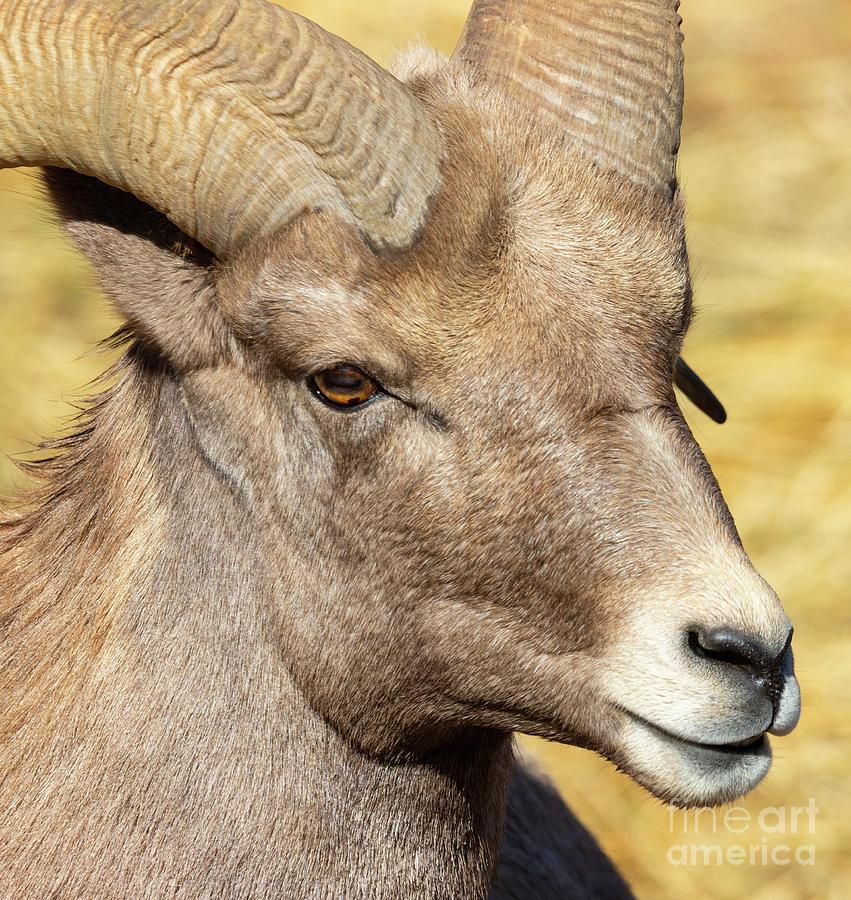Portrait of a Beautiful Ram Bighorn by Steve Krull