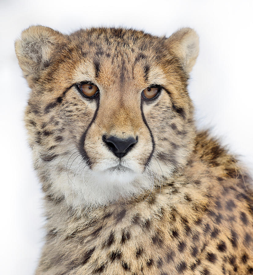 Portrait of a Cheetah by Kristie Burns