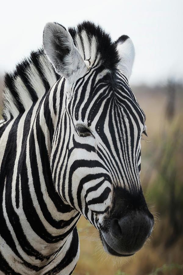 Portrait of a Plains Zebra by Belinda Greb